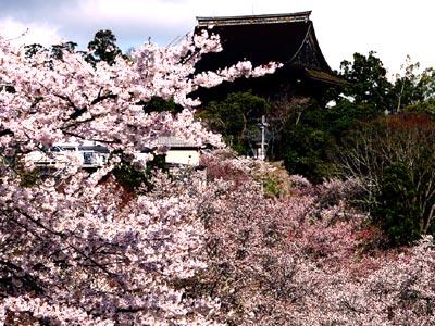 吉野桜(よしのさくら)